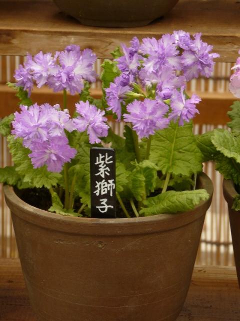 10420_51_紫獅子1.jpg