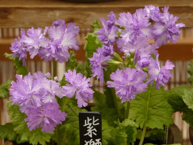 10420_52_紫獅子2.jpg